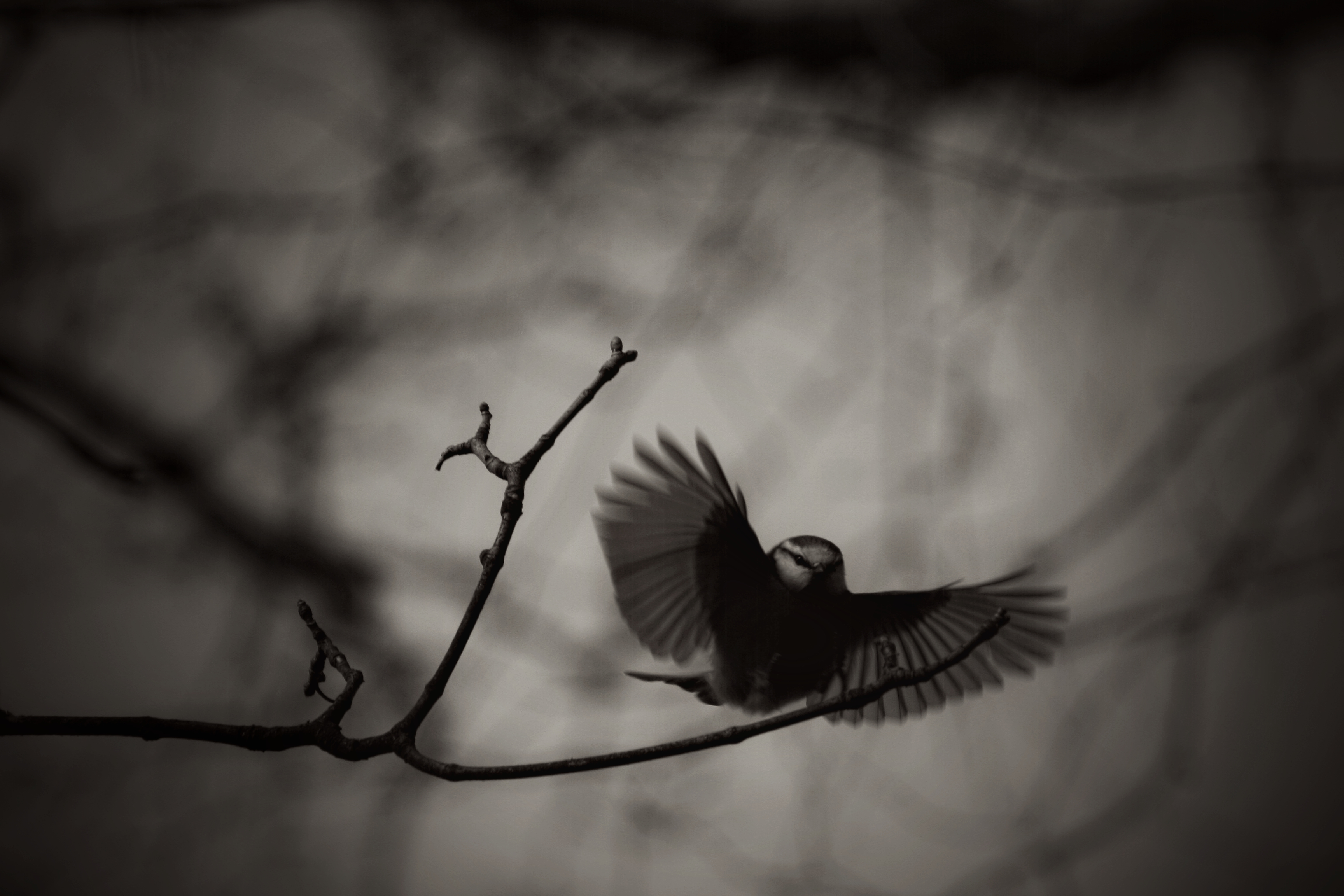 Tit B&W In Flight