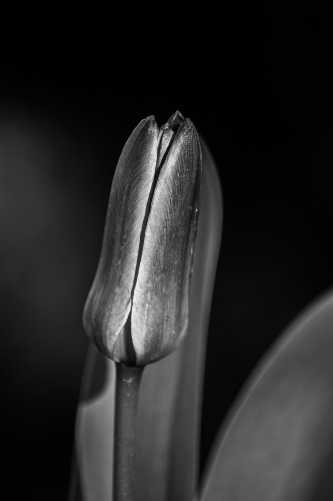 tulip in black and white A
