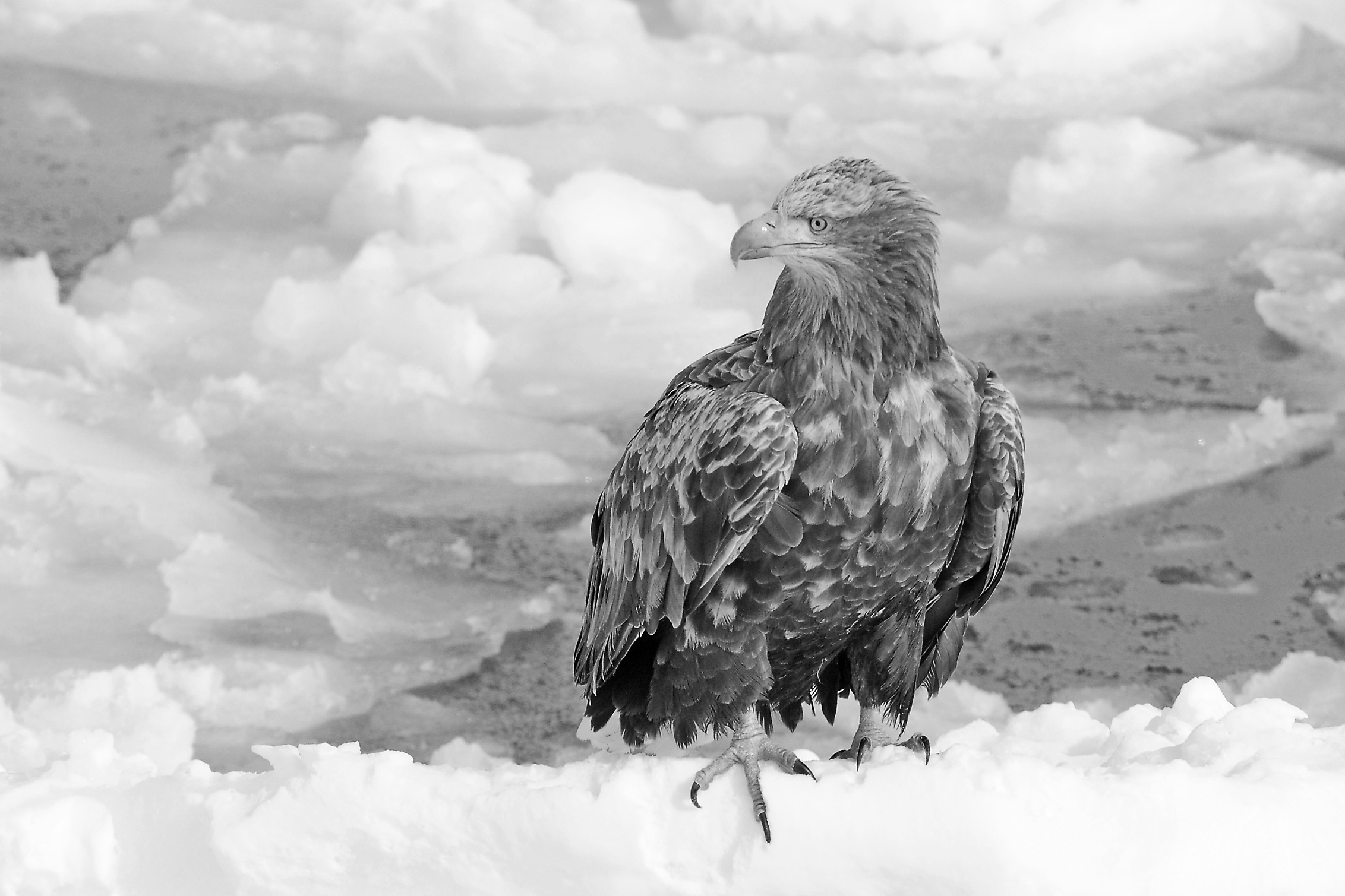 White-tailed Eagle (264) Best
