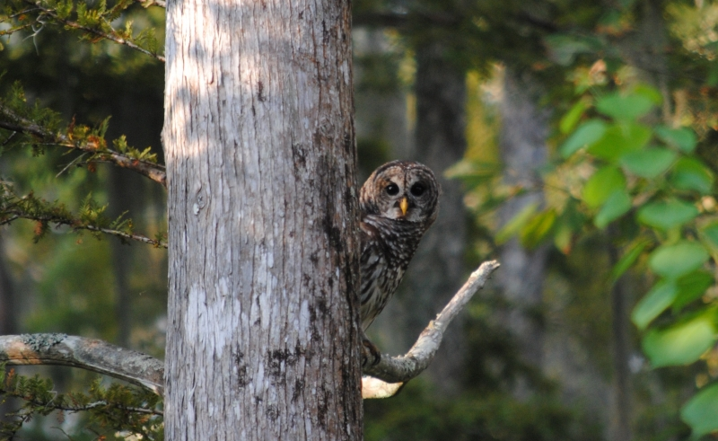 Barred Owl In Honey Island Swamp