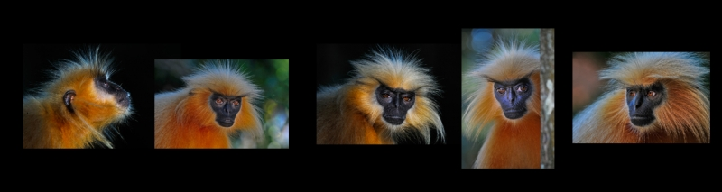 Golden Langurs On The Brink : Saving Our Relatives
