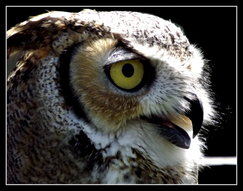 Great-Horned Owl Closeup