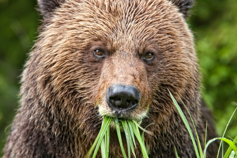 Grizzly Greens