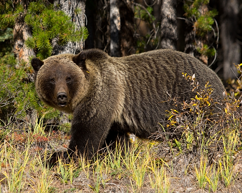 Grizzly Strut