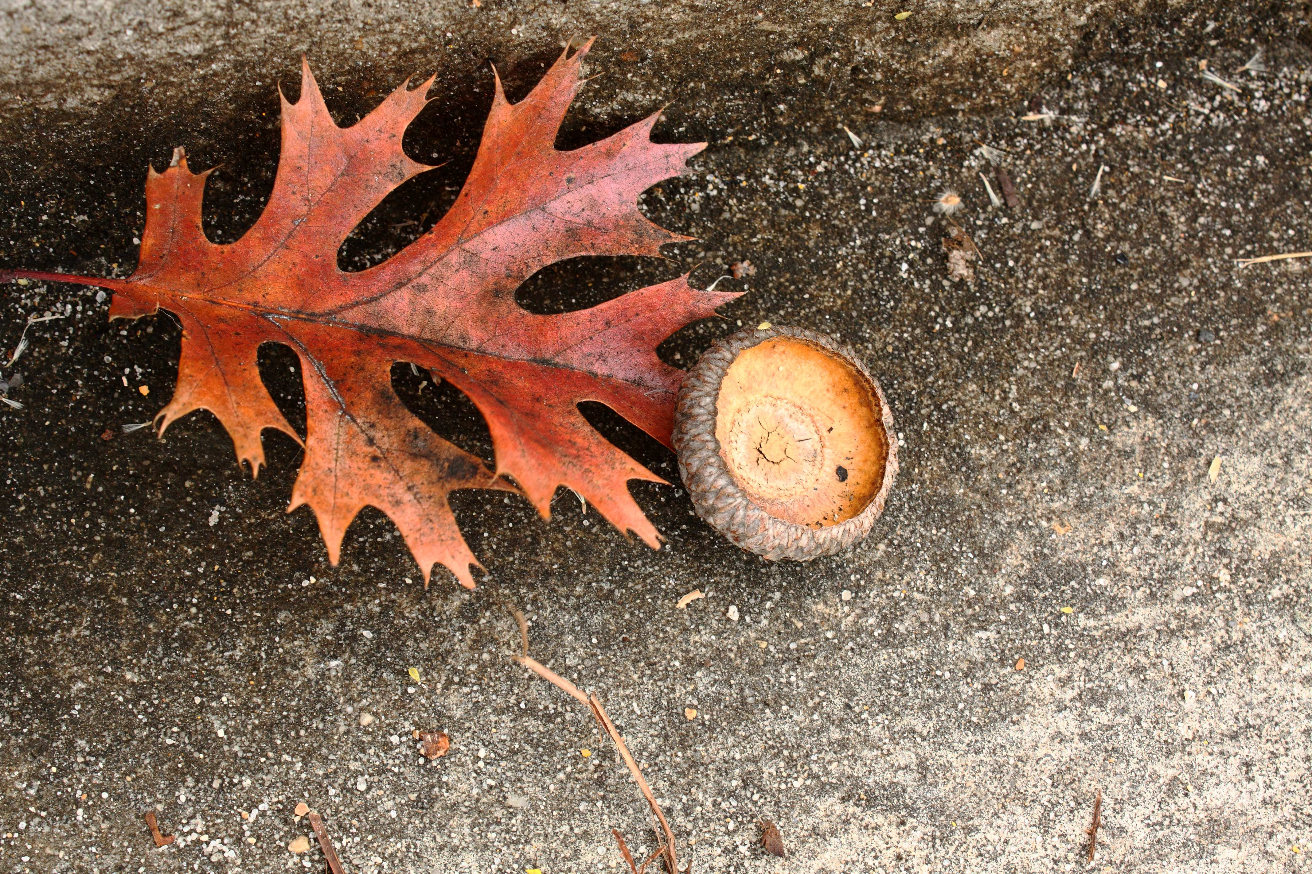 IMG_3496_Autumn Leaf and Acorn
