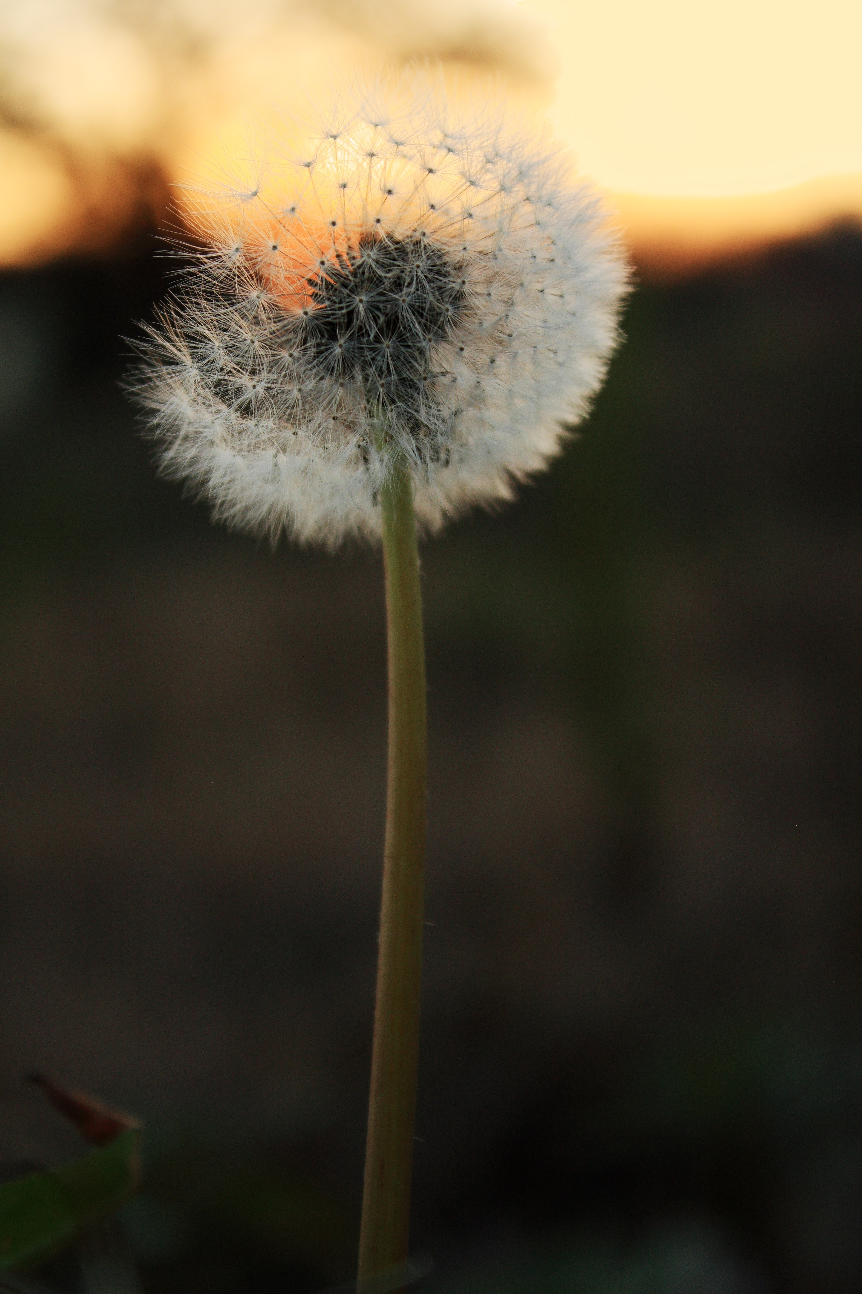 IMG_3686A_Dandelion at Sunset