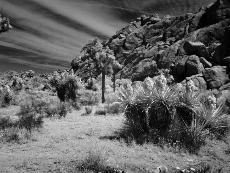Joshua Tree And Yucca – Infrared