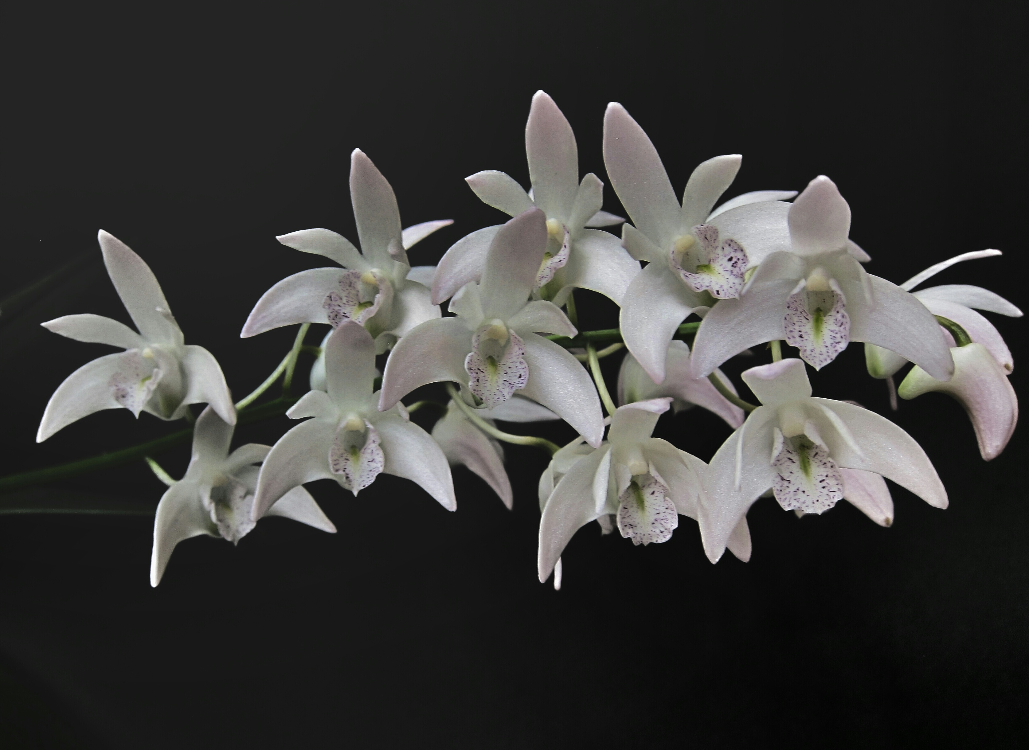 Porcelain Orchids