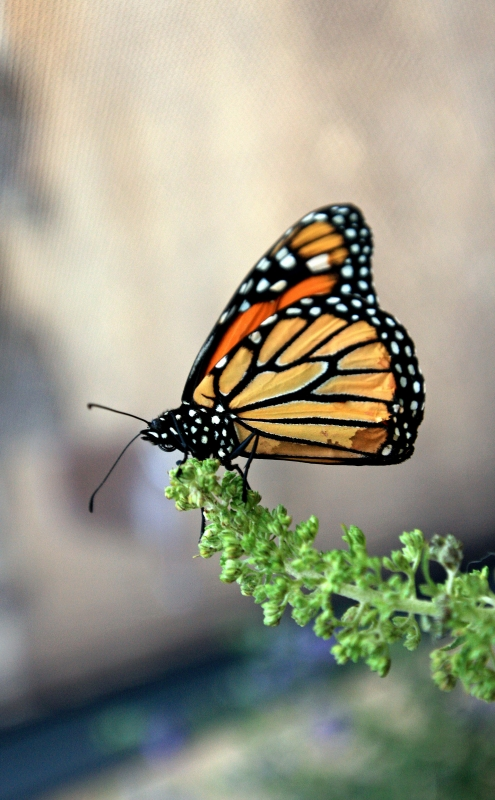 The Monarch Butterfly Relaxing On The Branch